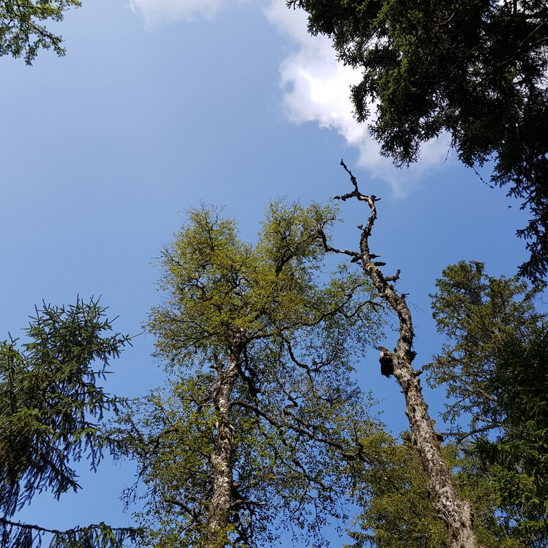 Canopy in the Bohemian Forest